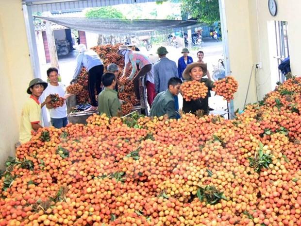 越南对多个市场出口荔枝 hinh anh 1