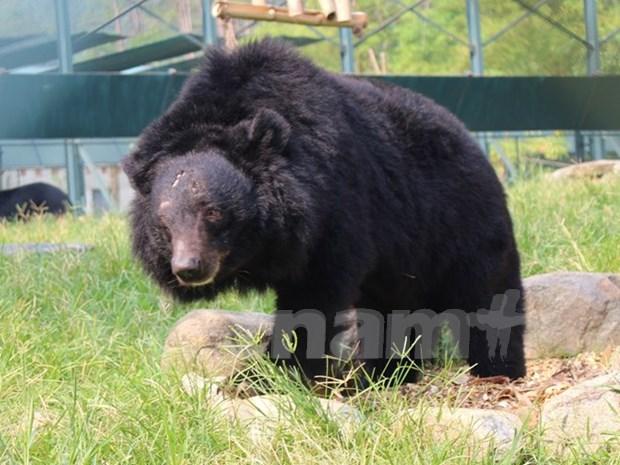 终止活熊取胆 保护野生熊 越南在行动 hinh anh 1
