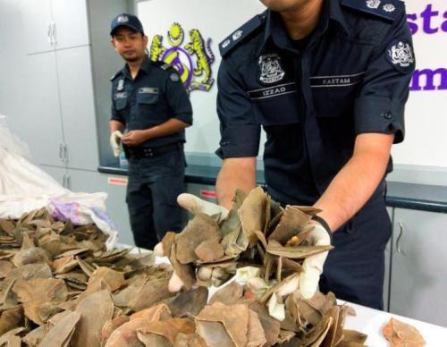 马来西亚起获23根走私象牙和300公斤穿山甲鳞片 hinh anh 1