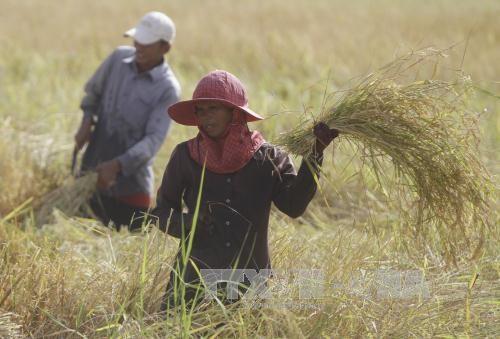 2017年孟加拉国将向柬埔寨购买5万吨蒸谷米 hinh anh 1