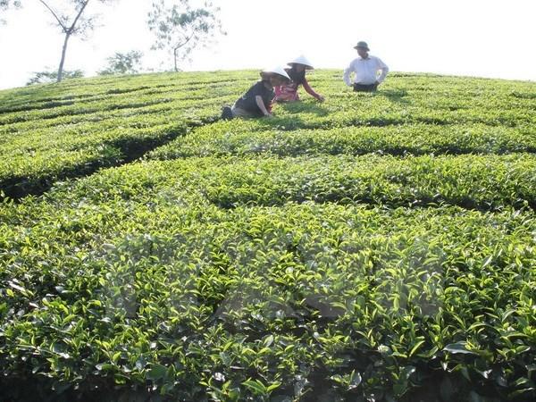 富寿省努力发挥茶树的生产潜力 hinh anh 1