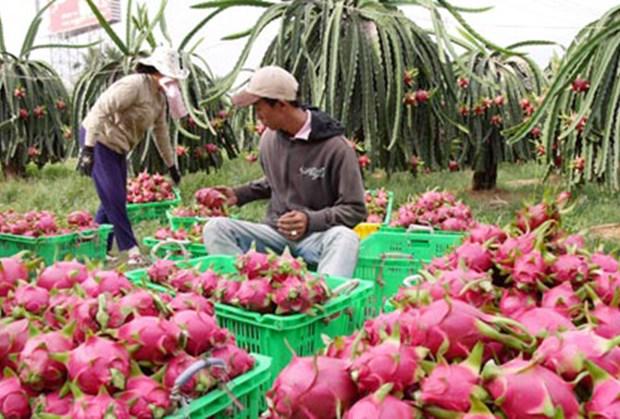 越南火龙果销往澳大利亚市场需满足澳方检疫等的条件 hinh anh 1