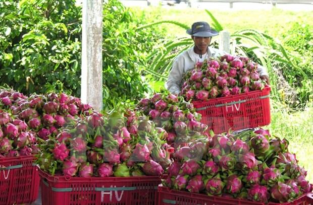 越南火龙果生产和出口中国概况 hinh anh 2