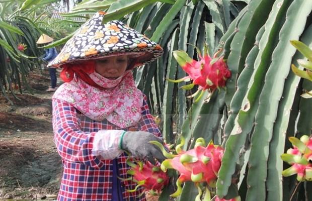 越南火龙果生产和出口中国概况 hinh anh 1