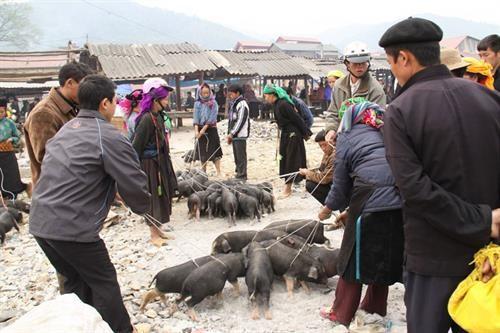 """""""腋夹""""猪——越南北部山区著名土特产 hinh anh 1"""