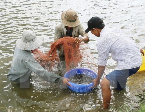 努力推动越南虾产业可持续发展 hinh anh 1
