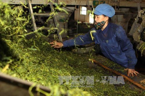越南力争实现茶叶出口额2.5亿美元的目标 hinh anh 1