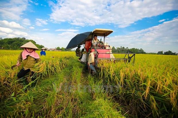 今年全国水稻产量可达4410万吨 hinh anh 1