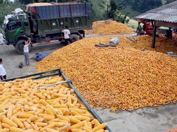 越南每年出资17亿美元来进口玉米 hinh anh 1