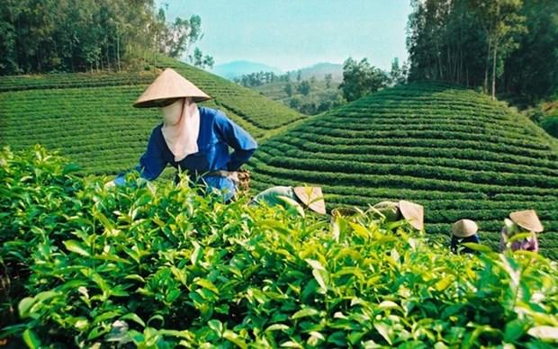 2017年前8月越南茶叶出口总额增长11.8% hinh anh 1