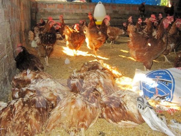 2018年越南将研制禽流感甲型H5N1疫苗 hinh anh 1