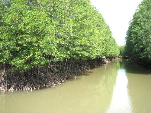 """共同管理红树林有助于恢复沿海绿色""""屏障"""" hinh anh 1"""