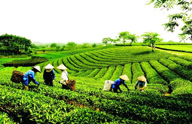 越南茶叶企业要调整方向 把茶叶产品打入苛刻市场 hinh anh 1