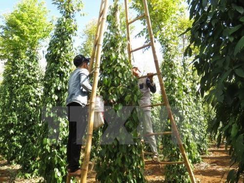今年前8月印尼胡椒出口量达近2.5万吨 hinh anh 1