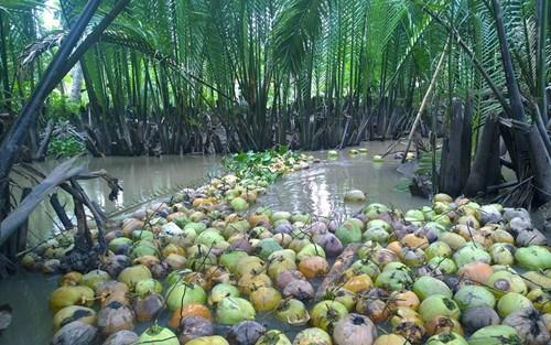 越南椰子之故事 hinh anh 1