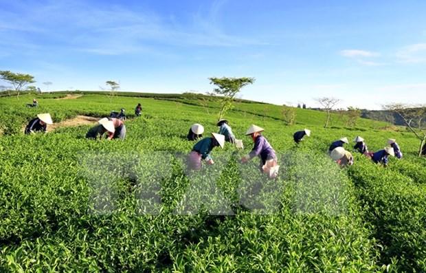 越南对巴基斯坦茶叶出口额达逾3900万美元 hinh anh 1