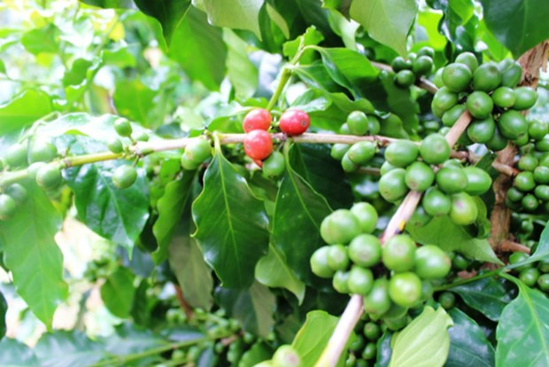 """越南批准""""越南高品质咖啡""""国家品牌发展框架提案 hinh anh 1"""
