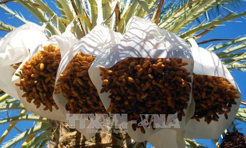 阿尔及利亚有意将其椰枣进军越南 hinh anh 1