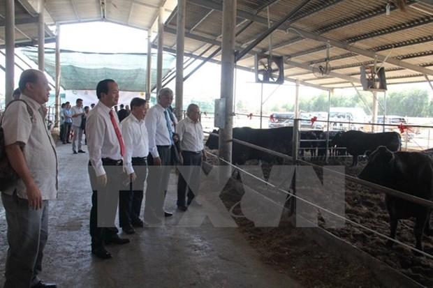 越南与日本开展和牛养殖合作项目 hinh anh 1