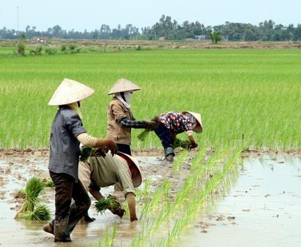 越南努力在水稻生产过程中减少温室气体排放 hinh anh 1