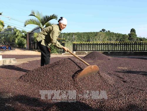 西原地区各省努力确保出口咖啡豆质量 hinh anh 2