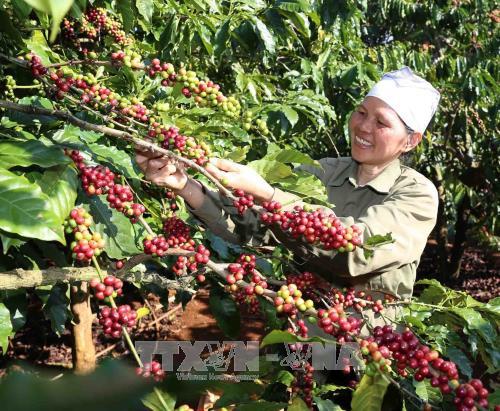 西原地区各省努力确保出口咖啡豆质量 hinh anh 1