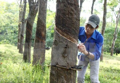 政府副总理王廷惠批准越南橡胶工业集团股份制改革方案 hinh anh 1