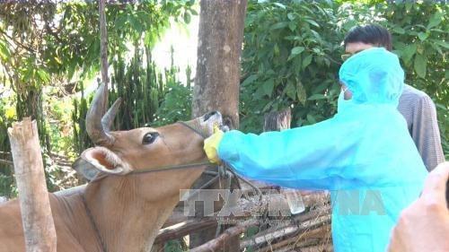 越南国产口蹄疫疫苗将于2018年第二季度上市 hinh anh 1