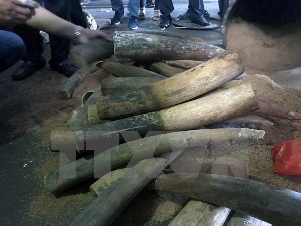 河内内排国际机场海关查获3公斤非洲象牙 hinh anh 1