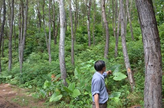 越南人工大木林面积达13万公顷 hinh anh 1