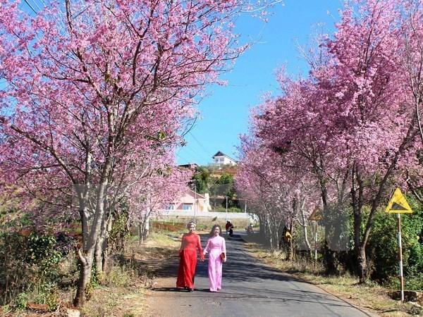 2018年大叻泉林樱花节将于1月底举行 hinh anh 1