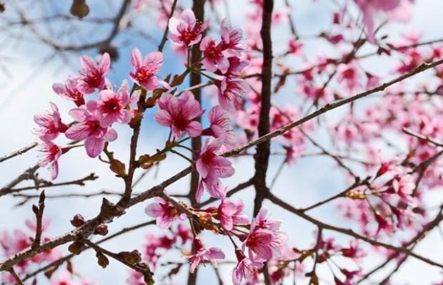 大叻市梅樱桃花卉节开幕 hinh anh 2