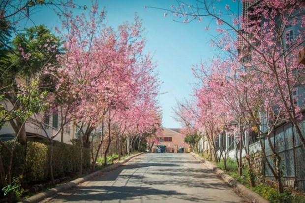 大叻市梅樱桃花卉节开幕 hinh anh 3