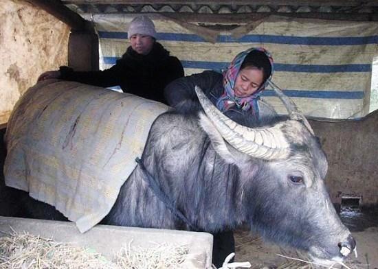 低温严寒天气来袭 2千多头家畜被冻死 hinh anh 1