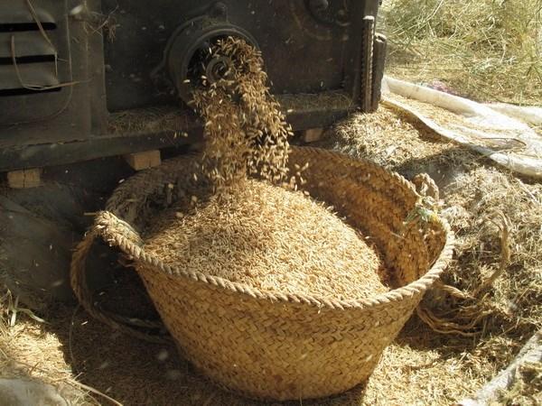 缅甸即将举行稻米产业发展论坛 hinh anh 1