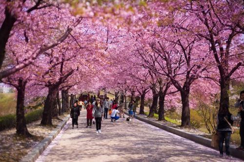 河内市樱花节将于3月下旬举行 hinh anh 1