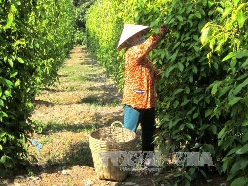 坚江省富国县努力实现胡椒产量达1200吨以上 hinh anh 1