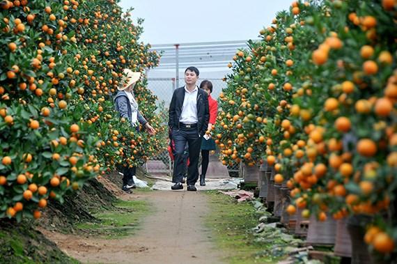 越南春节:金桔盆景畅销 hinh anh 1