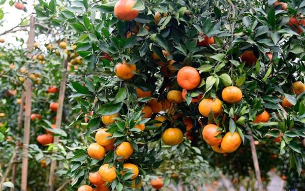 橙子树——安沛省文振县居民致富脱贫之树 hinh anh 1