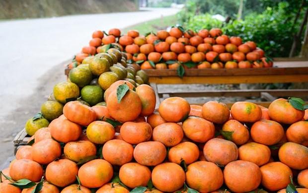 橙子树——安沛省文振县居民致富脱贫之树 hinh anh 2