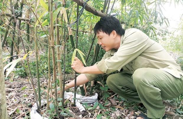 同塔省收集和种植60多种竹子 hinh anh 2