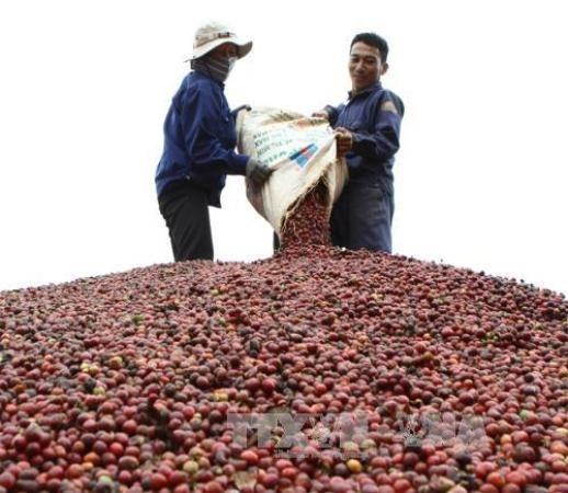 越南咖啡需及时破解加工保鲜技术难题 hinh anh 2