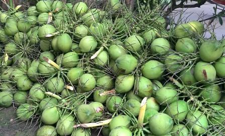 槟椥椰蓝椰子产品获得地理标志登记证书 hinh anh 1