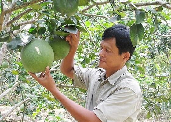 槟椥省省绿皮柚子获得地理标志认证 hinh anh 1