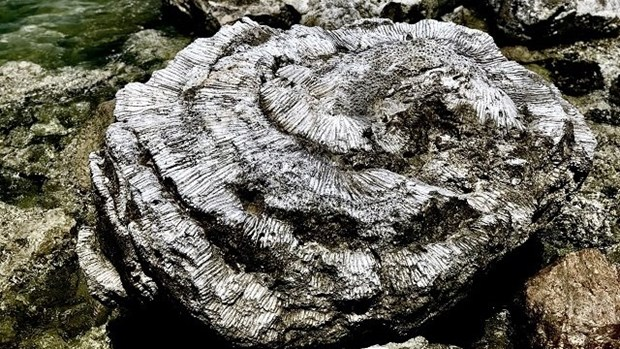越南新发现千年古珊瑚化石 hinh anh 1