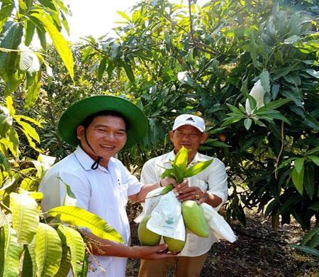茶荣省芒果获全球良好农业操作认证 热销新加坡市场 hinh anh 1