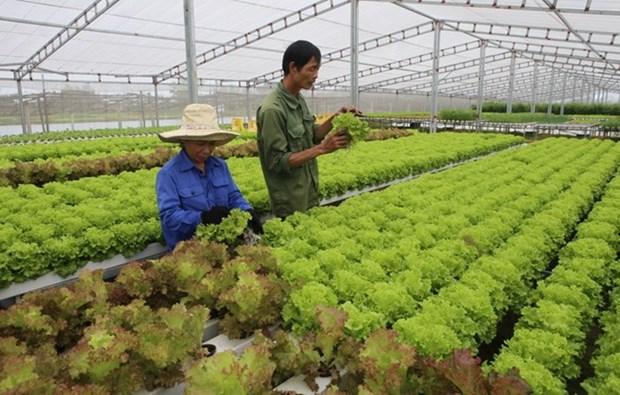 越南绿色蔬菜种植技术征服新加坡市场 hinh anh 1