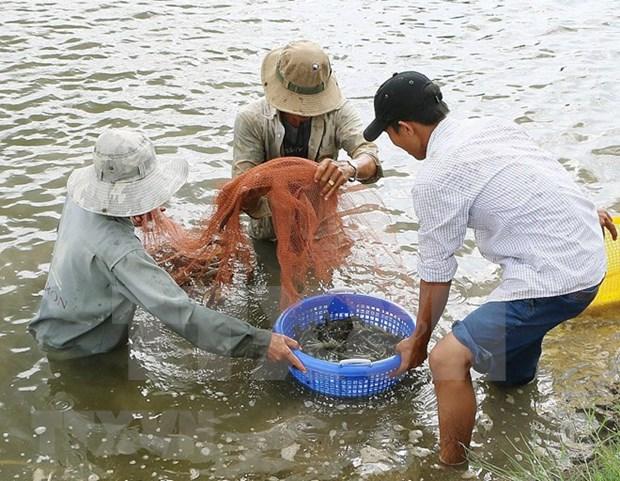 平定省采用高新技术的虾类养殖模式 hinh anh 1