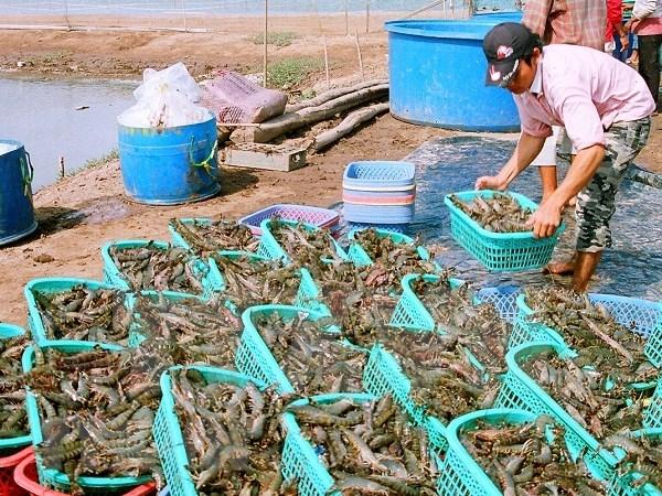平定省采用高新技术的虾类养殖模式 hinh anh 2