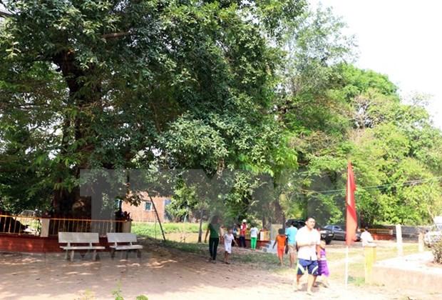 越南安江省三棵大花紫薇树被列入越南遗产树名录 hinh anh 2